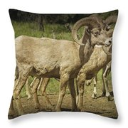Bighorn Sheep Along A Roadside In The Black Hills Throw Pillow