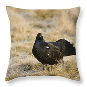 Black Grouse Displaying On A Lek Throw Pillow