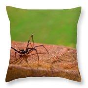 Black Widow Spider Male Throw Pillow by Douglas Barnett