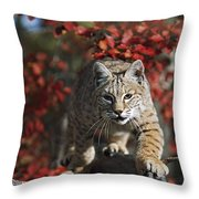 Bobcat Felis Rufus Walks Along Branch Throw Pillow