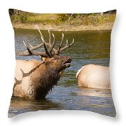 Bugling Bull Elk And 2 Female Cows In Estes Lake  Co Throw Pillow