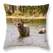 Bugling Bull Elk And Calf Colorado Rut 4 Throw Pillow