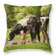 Bull And Cows Grazing On Grass In Farm Maine Throw Pillow