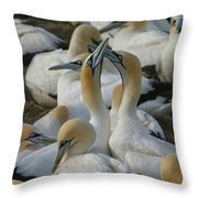 Cape Gannets Throw Pillow