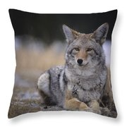 Coyote Resting In Winter Grass, Snowing Throw Pillow