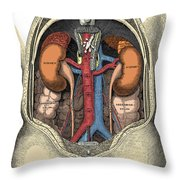 Dissection Of The Abdomen Throw Pillow by Science Source