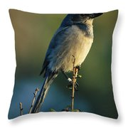 Florida Scrub Jay Aphelocama Throw Pillow