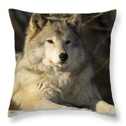 Grey Wolf Canis Lupus In Ecomuseum Zoo Throw Pillow