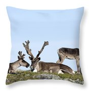 Group Of Caribou Resting On Alpine Throw Pillow