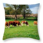 Hereford Bullocks Throw Pillow