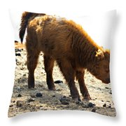 Juvenile Scottish Highlander Cattle Throw Pillow