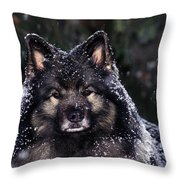 Keeshond Dog, Winnipeg, Manitoba Throw Pillow