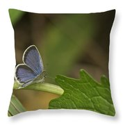Male Eastern Tailed Blue Butterfly 3063 Throw Pillow
