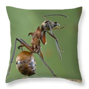 Marauder Ant Polyrhachis Sp Cleaning Throw Pillow