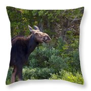 Moose Baxter State Park Maine 3 Throw Pillow