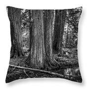 Old Growth Cedar Trees - Montana Throw Pillow