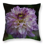Purple Dahlia 3 Throw Pillow