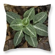 Rattlesnake Plantain A Study In Leaves Throw Pillow