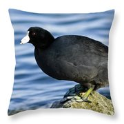 Ready Set Jump- American Coot Prepares To Dive  Throw Pillow