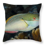 Red-banded Parrotfish Bonaire Throw Pillow