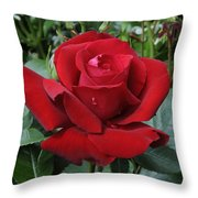 Rose Rosa Sp Ingrid Bergman Variety Throw Pillow