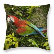 Scarlet Macaw Ara Macao Adult Perching Throw Pillow