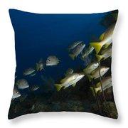 School Of Schoolmaster Snapper, Belize Throw Pillow