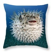 Spotted Porcupinefish IIi Throw Pillow by Dave Fleetham
