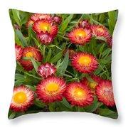 Strawflower Helichrysum Sp Red Variety Throw Pillow