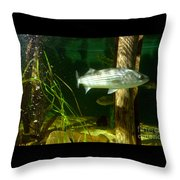 Striped Bass In Aquarium Tank On Cape Cod Throw Pillow