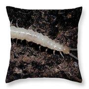 Symphylan Throw Pillow