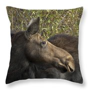 Yearling Calf On Alert Throw Pillow