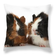 Young Tricolour Guinea Pigs Throw Pillow