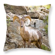 Bighorn Sheep In The San Isabel National Forest Throw Pillow