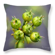 Coriander C. Sativum, Maturing Seedpods Throw Pillow