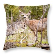 Mule Deer In The Pike National Forest Of Colorado Throw Pillow