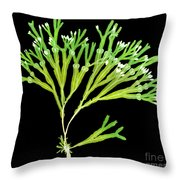 Rockweed Seaweed, X-ray Throw Pillow