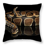 Ball Or Royal Python Snake On Isolated Black Background Throw Pillow