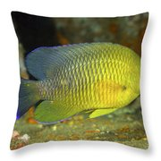 A Dusky Damselfish Offshore From Panama Throw Pillow