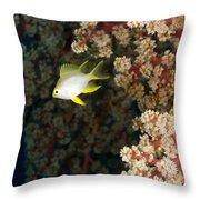 A Juvenile Golden Damsel Fish Shelters Throw Pillow