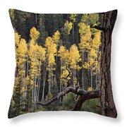 A Ponderosa Pine Tree Among Aspen Trees Throw Pillow