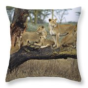 African Lion Panthera Leo Family Throw Pillow by Konrad Wothe