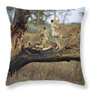 African Lion Panthera Leo Family Throw Pillow