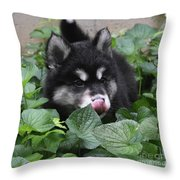 Alusky Puppy Dog Licking The Tip Of His Nose Throw Pillow