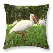 American White Ibis Birds In Orlando, Florida Throw Pillow