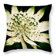 Astrantia In Bloom Throw Pillow