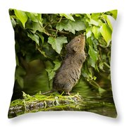Baby Water Vole Stretching Up Throw Pillow
