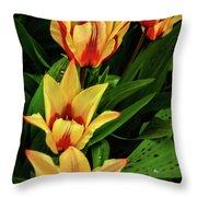 Beautiful Bicolor Tulips Throw Pillow