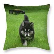 Beautiful Bold Two Month Old Alusky Puppy Dog Throw Pillow