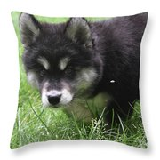 Beautiful Furry Black And White Alusky Only Two Months Old  Throw Pillow